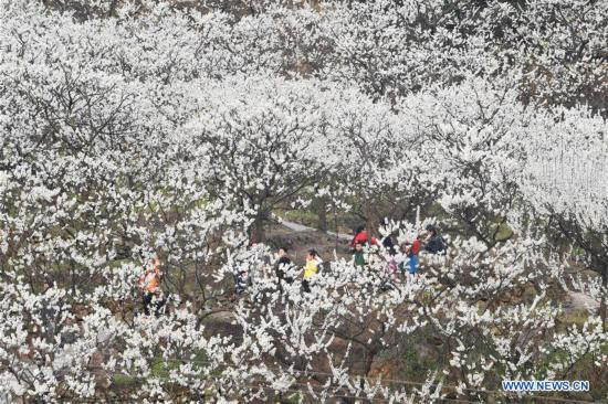 Tourists view plum blossoms in China's Chongqing