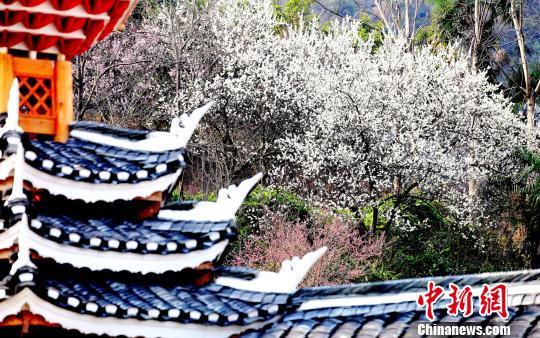 屋角的梨花点缀着庭院的芳华。 奉力 摄