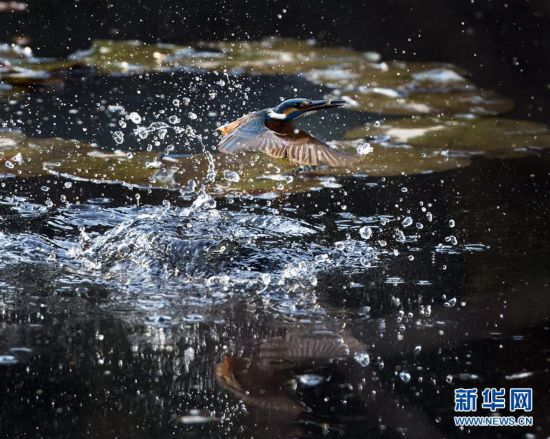 #(视・觉)(1)翠鸟捕食