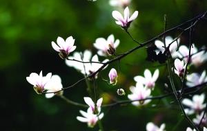 玉兰盛放花期仅一周 南京最美赏花地图请收好