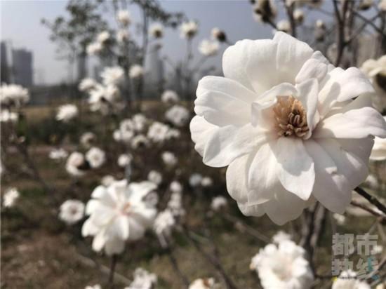 植物十里不如你西安滑板园里木兰花香分体春风四溢四轮怎么样图片
