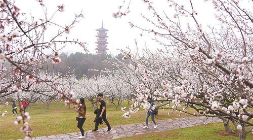 """青山綠水杏花 徐州湖東路成""""春天最美的路"""""""