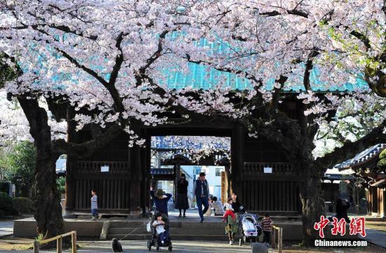 日本气象厅宣布东京樱花开放比往年提早9天(图)