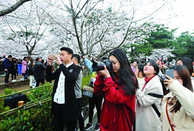 近百名大学生 提前约会樱花