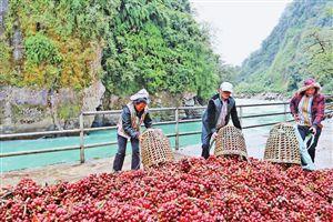 云南獨龍江:產業興旺日子甜