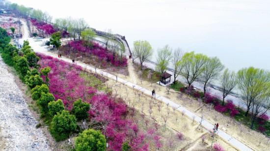 淮安洪泽湖大堤上梅花全线盛开 春意盎然