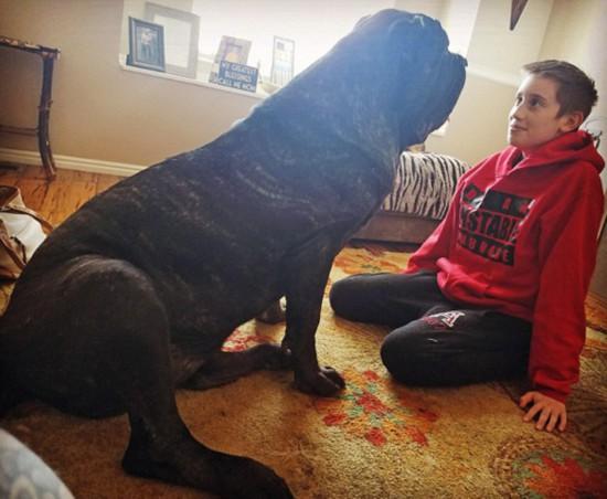 世界最大幼犬年仅9个月身高1.8米体重82公斤