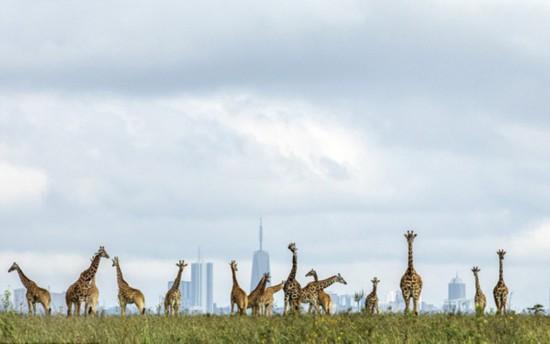 有趣!肯尼亚长颈鹿令远处摩天大楼相形见矮