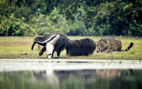 不可思议!美洲豹遇见食蚁兽竟不为所动