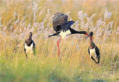 青铜峡鸟岛鸥鹭翔集