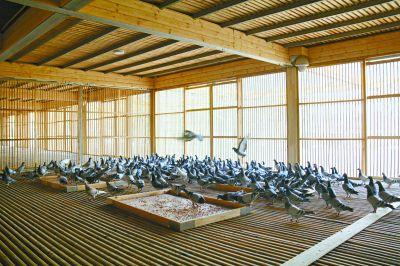园博园为市民建信鸽寄养所 共有1.2万个鸽舍