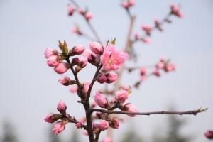 桃梨风光赏花节在淮安开幕 众多游客前来观赏