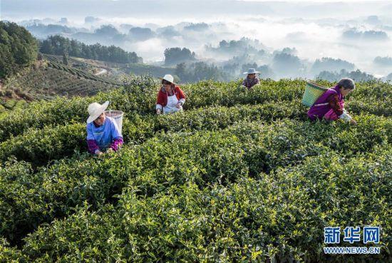 云雾为伴采春茶