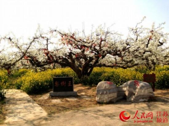 丰县梨花节开幕 以花为媒打造生态旅游