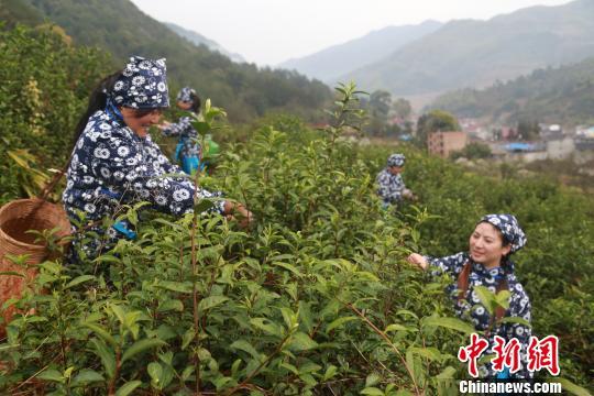 近年来,德兴市绕二镇着力实施茶叶产业化发展战略,助力脱贫攻坚。董世超摄