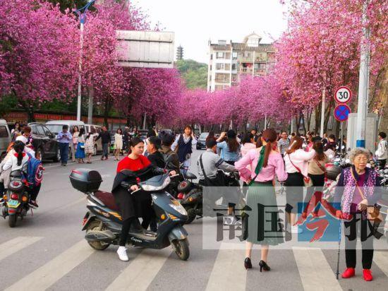 紫荆花虽美拍照悠着点 柳州交警提醒三大注意事项