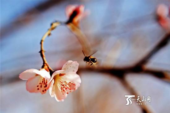 新疆:花开花繁花事忙 寻香春日觅芳踪