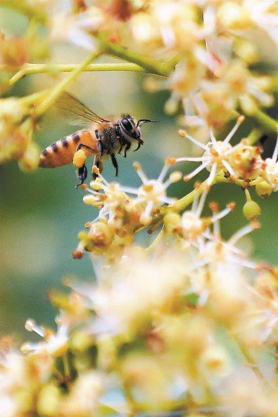 河源蜜蜂驻扎深圳西丽荔枝园