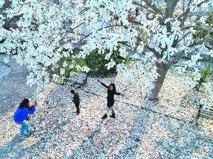 航拍淮安樱花公园 S形樱花大道壮观美丽