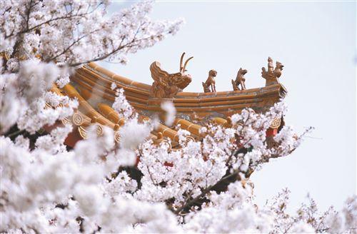 徐州彭祖园樱花盛开惹人醉 游客如醉如痴