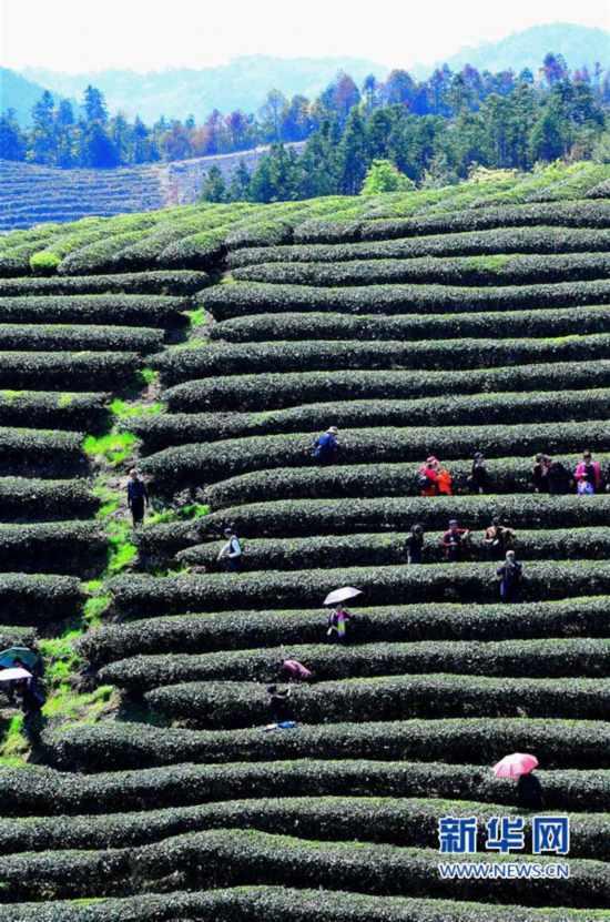 福建:生态茶园吸引众多游客前来观光