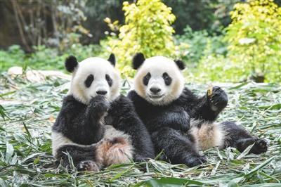 广州双胞胎大熊猫迈出独立生活第一步