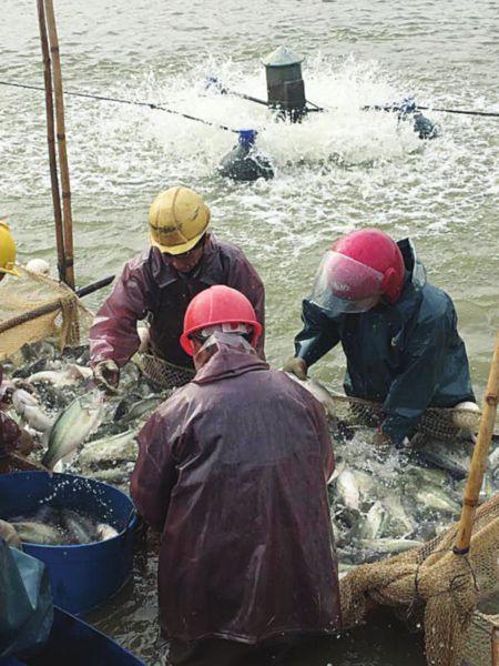 苏州加州鲈鱼年产值逾7亿 年产量超过2.5万吨