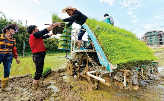 泉州南安:农民忙插秧 田园好风光