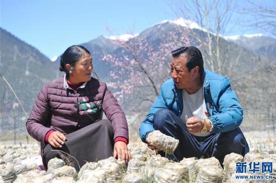 (经济)(4)西藏米林:家庭农场的致富带头人