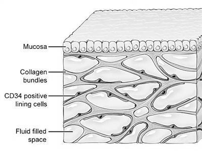 科学家发现人体新器官间质组织