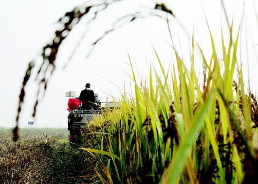 """在东营市垦利区永安镇""""渤海粮仓""""示范基地内,通过选育优质水稻品种等措施,让原来颗粒不收的荒碱地真正变""""粮仓""""。□CFP供图"""
