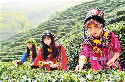 """茶农抢采""""明前茶"""""""