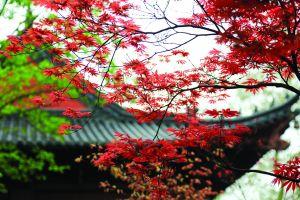 春天也能看丹枫 南京栖霞山红枫迎最佳观赏期