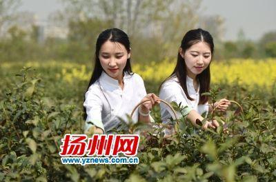 扬州明前茶丰产 茶叶采炒进入高峰期