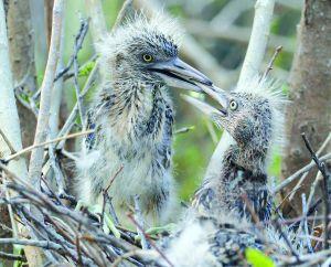 淮安洪泽湖古堰景区内数千只鹭鸟进入孵化期