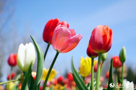 北京:百万株郁金香含苞待放吸引众多游客【3】