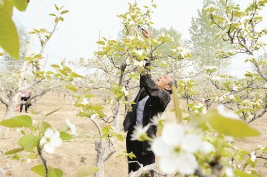 沿洪泽湖林果经济带果农为梨树裁花通风