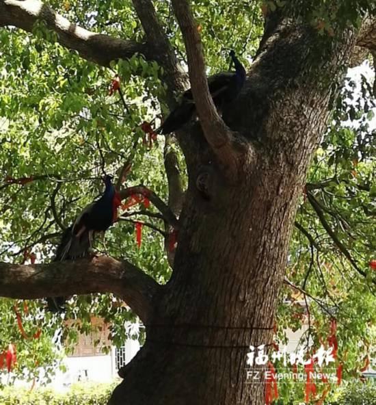 福州鼓山般若苑散养数十只孔雀 吸引不少游客慕名前往