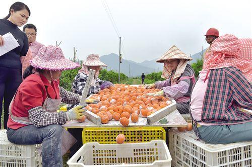 """上林""""互联网+""""发展柑橘产业 倾力扶贫带农户致富"""