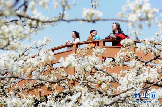 #(春季美丽生态)(1)山东阳信:梨花盛开引客来