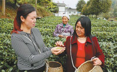 贵州正安县石志村村民帅应碧(右)、郑代春(中)到湄潭县核桃坝村茶园学习采茶技能。