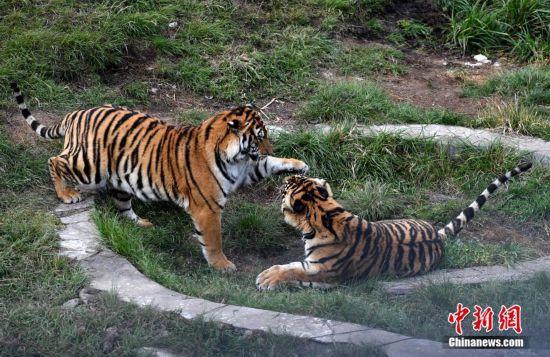 龙岩梅花山自然保护区内看华南虎