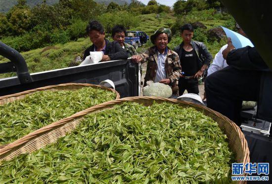 """(经济)(1) 西藏墨脱:茶业变成致富""""金叶"""""""