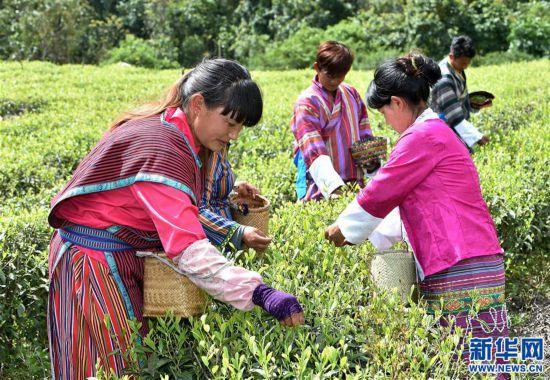 """(经济)(3) 西藏墨脱:茶业变成致富""""金叶"""""""