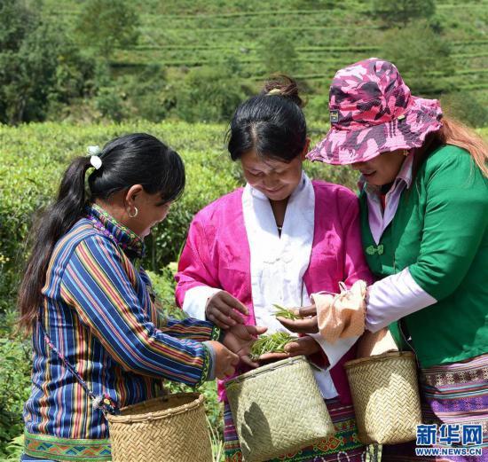"""(经济)(2) 西藏墨脱:茶业变成致富""""金叶"""""""