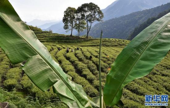 """(经济)(5) 西藏墨脱:茶业变成致富""""金叶"""""""