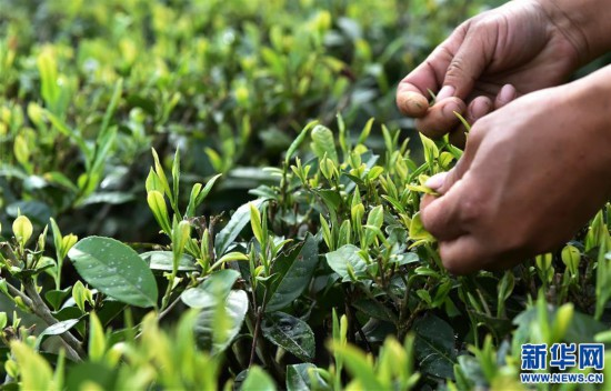 """(经济)(8) 西藏墨脱:茶业变成致富""""金叶"""""""