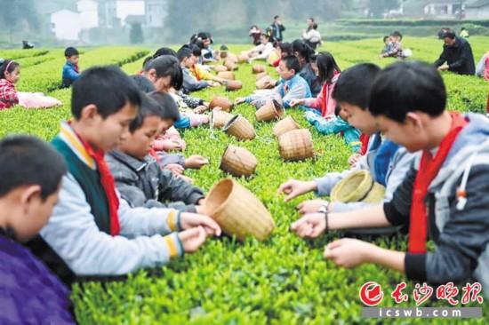 ↑沩山茶园,孩子们正体验采茶的乐趣。  资料图片