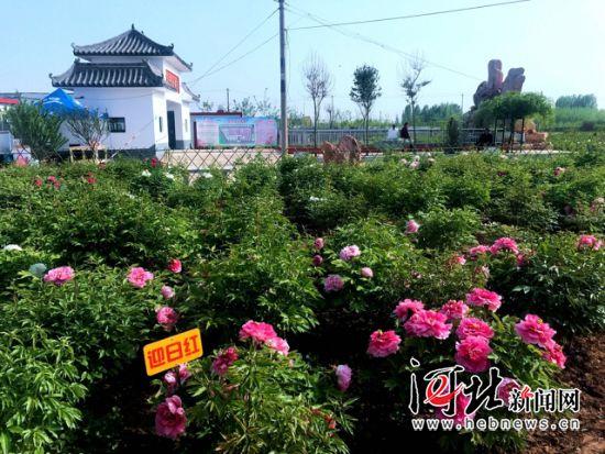 """邯郸广平县将举办""""赏牡丹、观天鹅、游水系""""主题游活动"""
