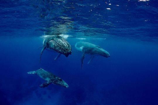 """座头鲸母子水下嬉戏 近距离""""观察""""人类"""
